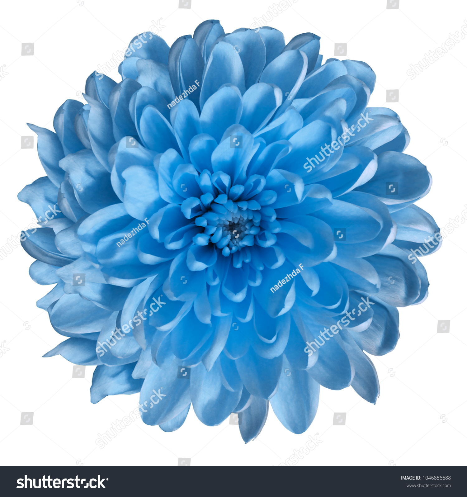 Chrysanthemum light blue flower on isolated stock photo edit now chrysanthemum light blue flower on isolated white background with clipping path without shadows close izmirmasajfo