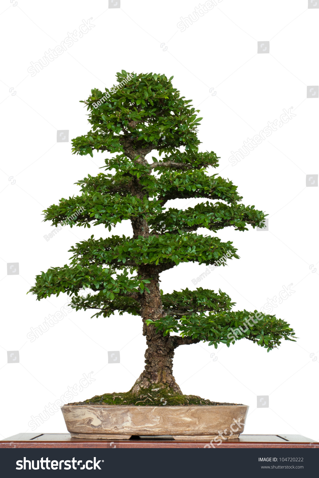 white isolated old chinese elm zelkova nire as bonsai tree preview save to a lightbox chinese elm bonsai tree