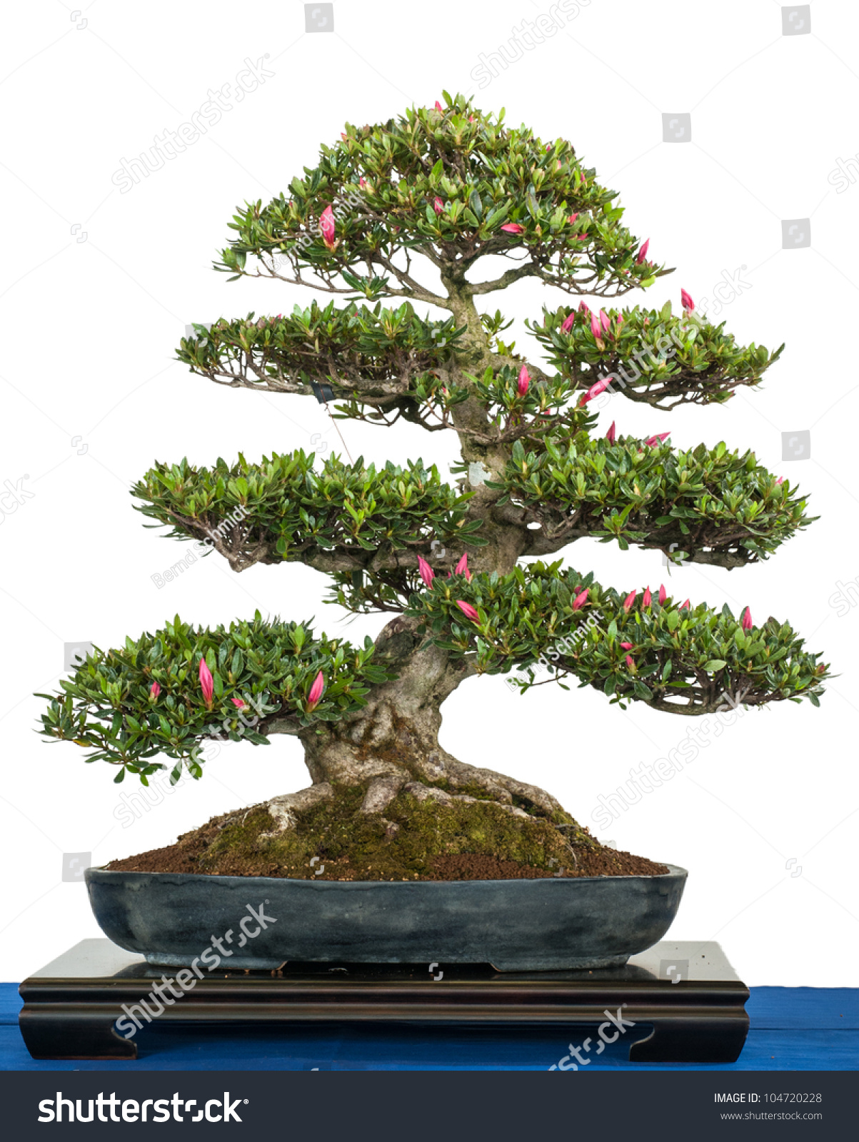 White Isolated Rhododendron Indicum Blooming Bonsai Stock Photo