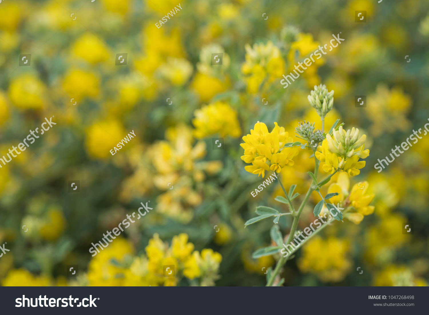 Yellow Alfalfa Flowers Medicago Sativa Subsp Stock Photo Edit Now