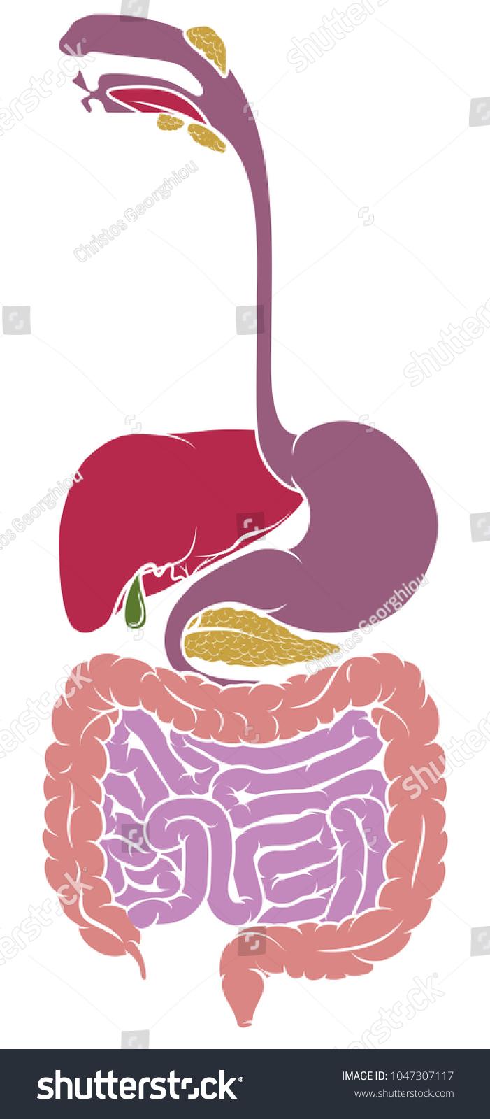 Human Anatomy Diagram Gut Gastrointestinal Tract Stock Illustration