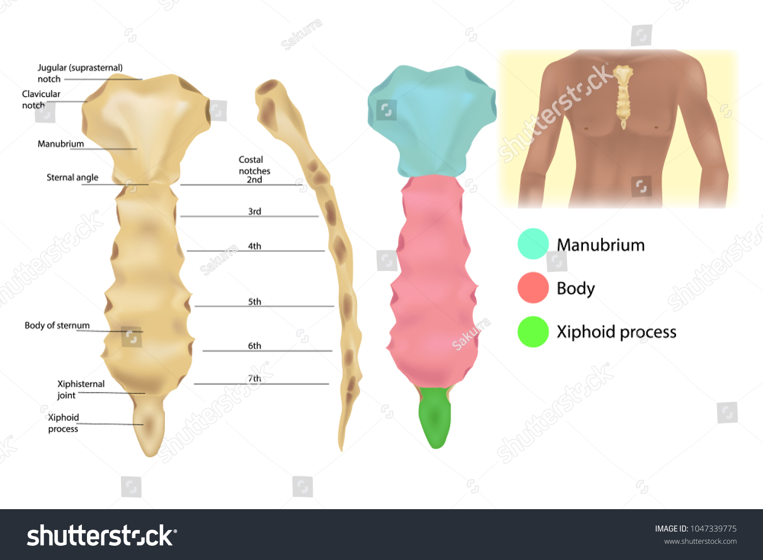 Sternum Anatomy Articulations Parts Sternum Sternal Stock Vector ...