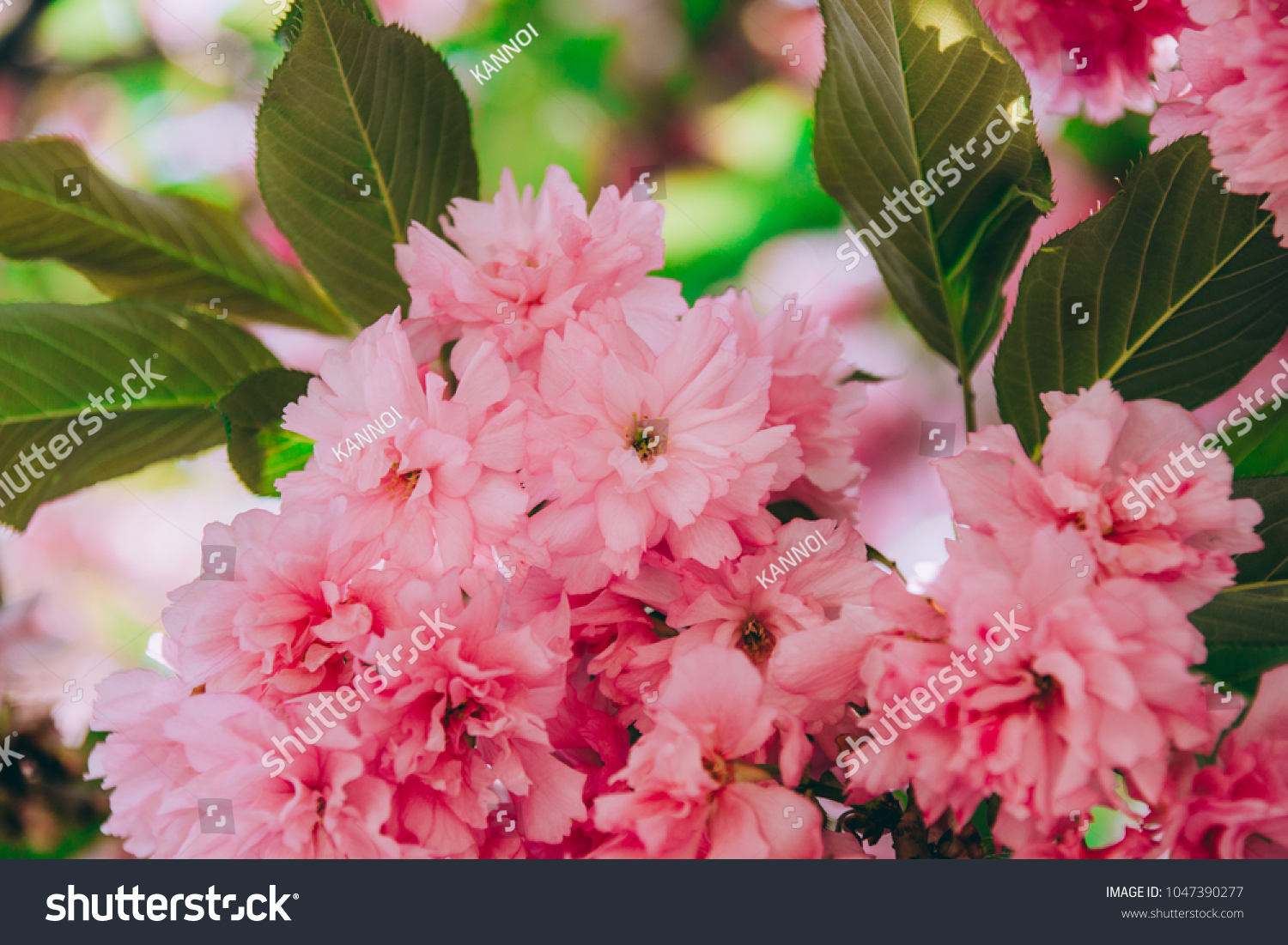 Beautiful Double Cherry Blossom Flowers Pink Stock Photo Edit Now