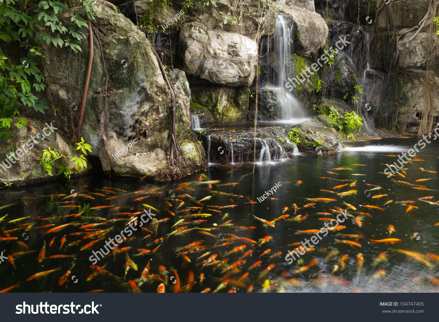 Koi fish in pond at the garden with a waterfall stock for Koi waterfall