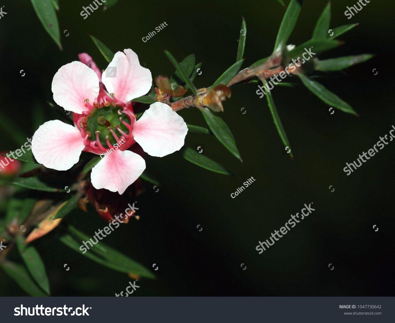 Beautiful Flower New Zealand Native Manuka Stock Photo Safe To Use