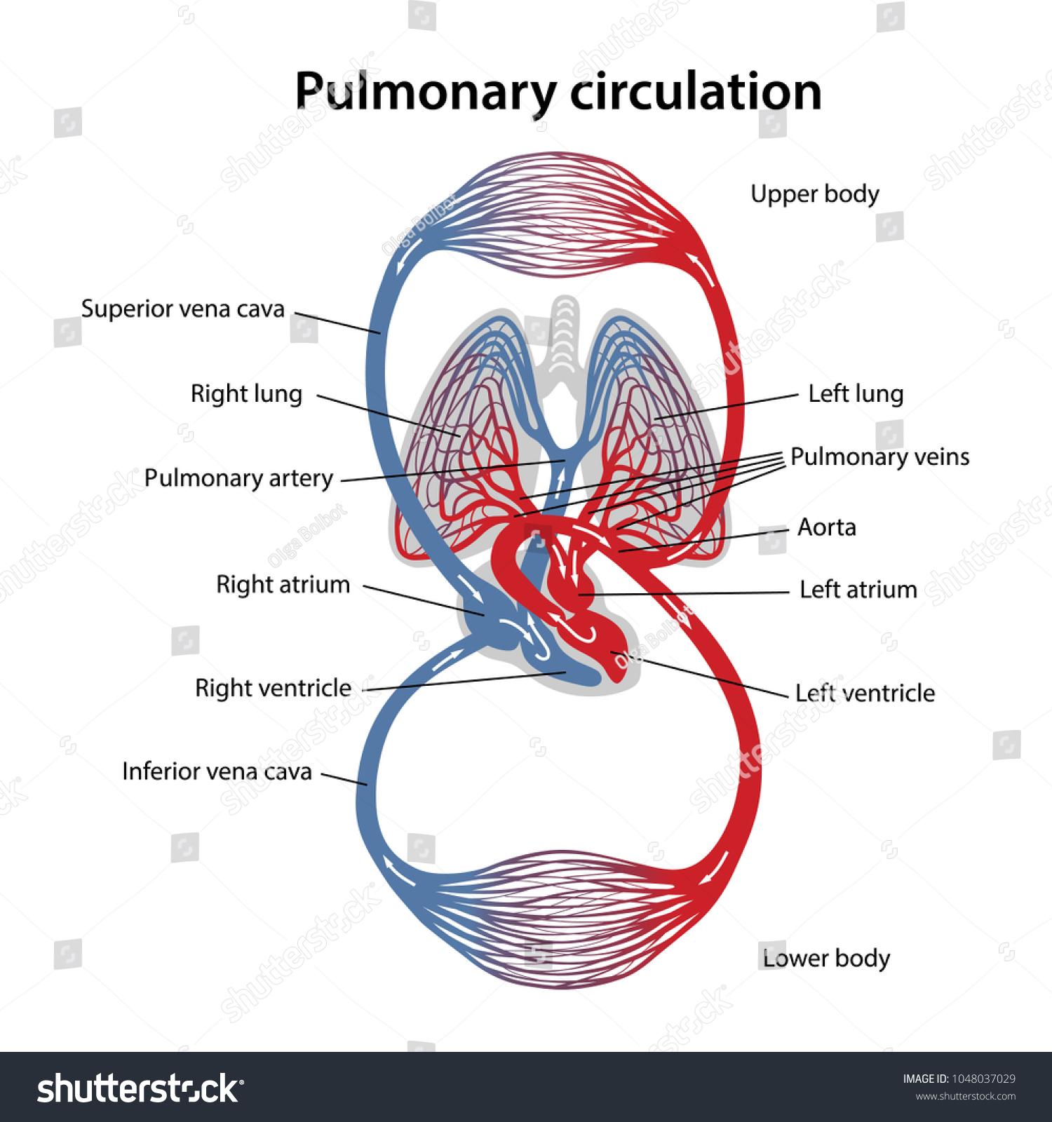 Circulation Blood Diagram Pulmonary Circulation Vector Stock Vector