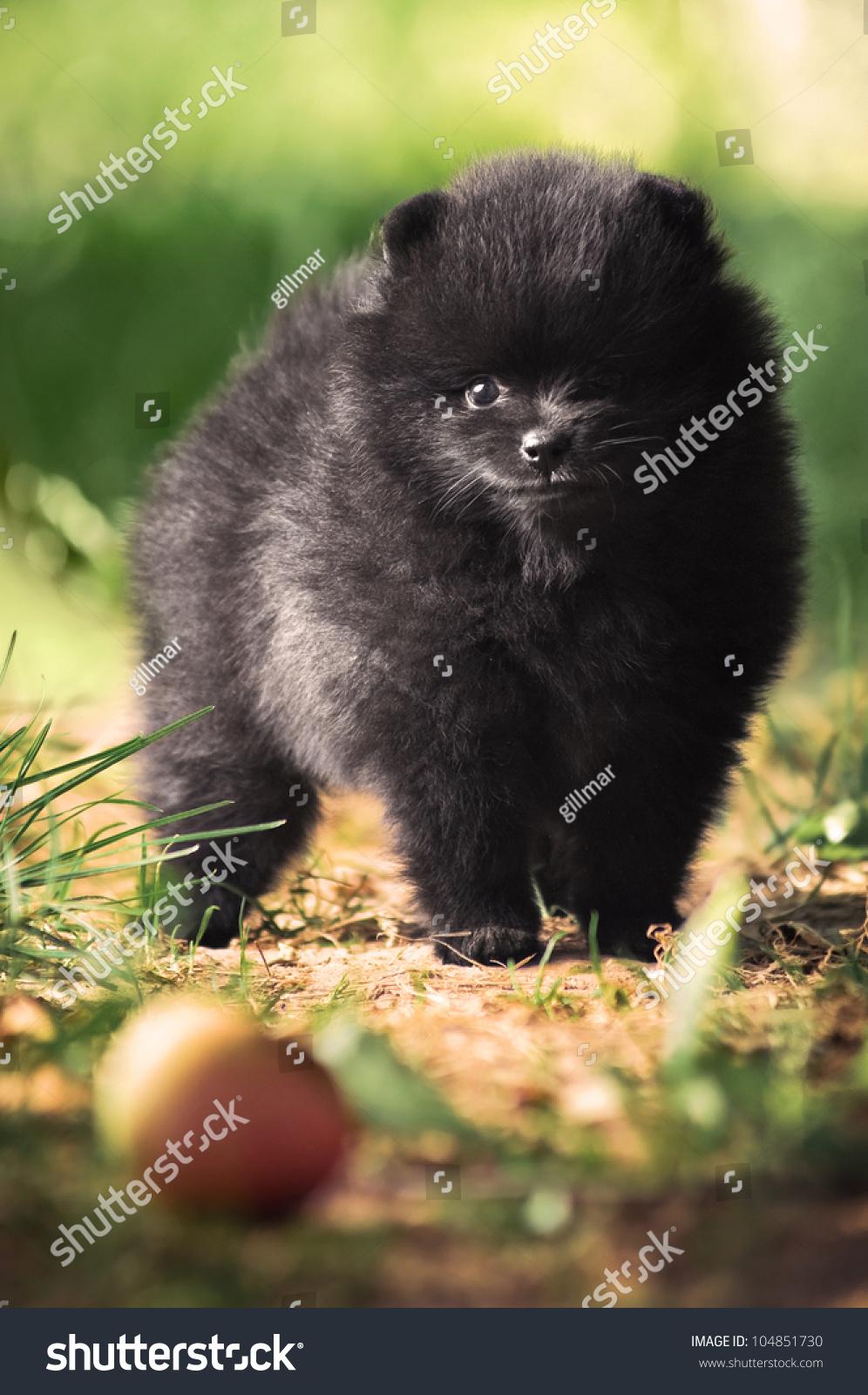black fluffy puppy of pomeranian spitz dog on green grass