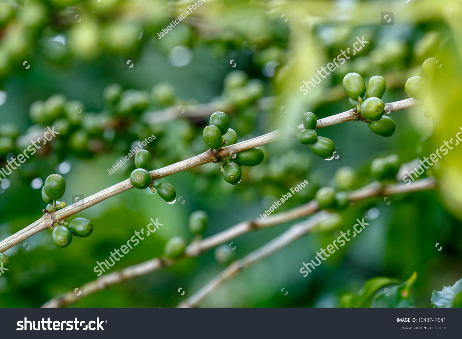 Green Coffee Beans On Plant Water Stock Photo Edit Now