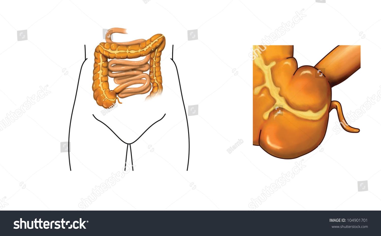 Drawing Small Large Intestine Detail Caecum Stock Illustration ...
