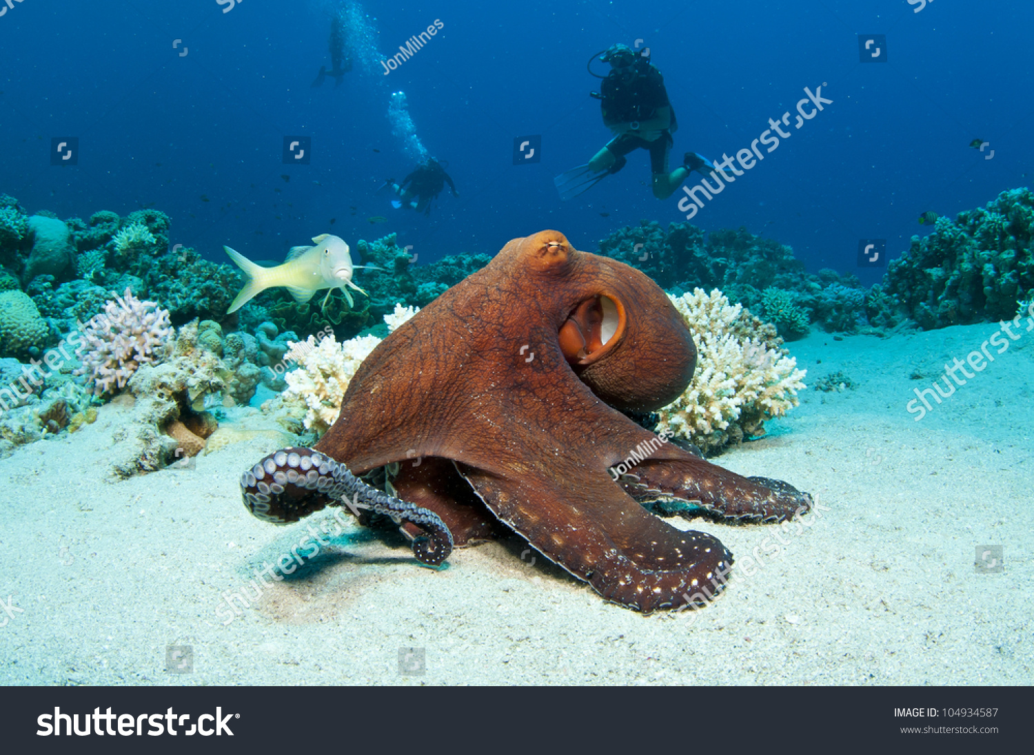 Red Octopus On Coral Reef Red Stock Photo 104934587 ...