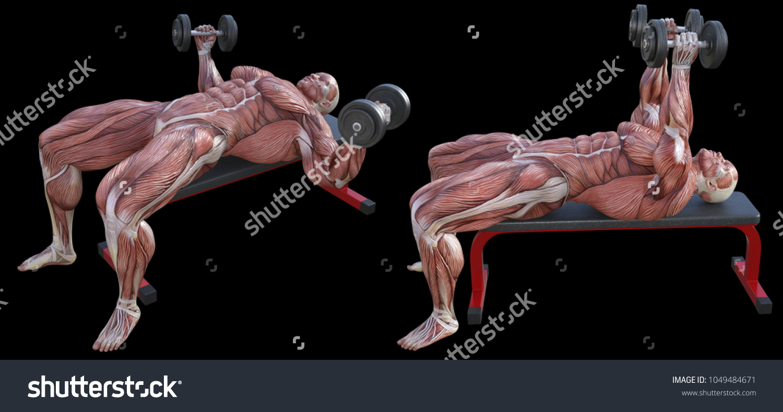 3 D Rendering Anatomical Muscle Shape Man Stock Illustration ...