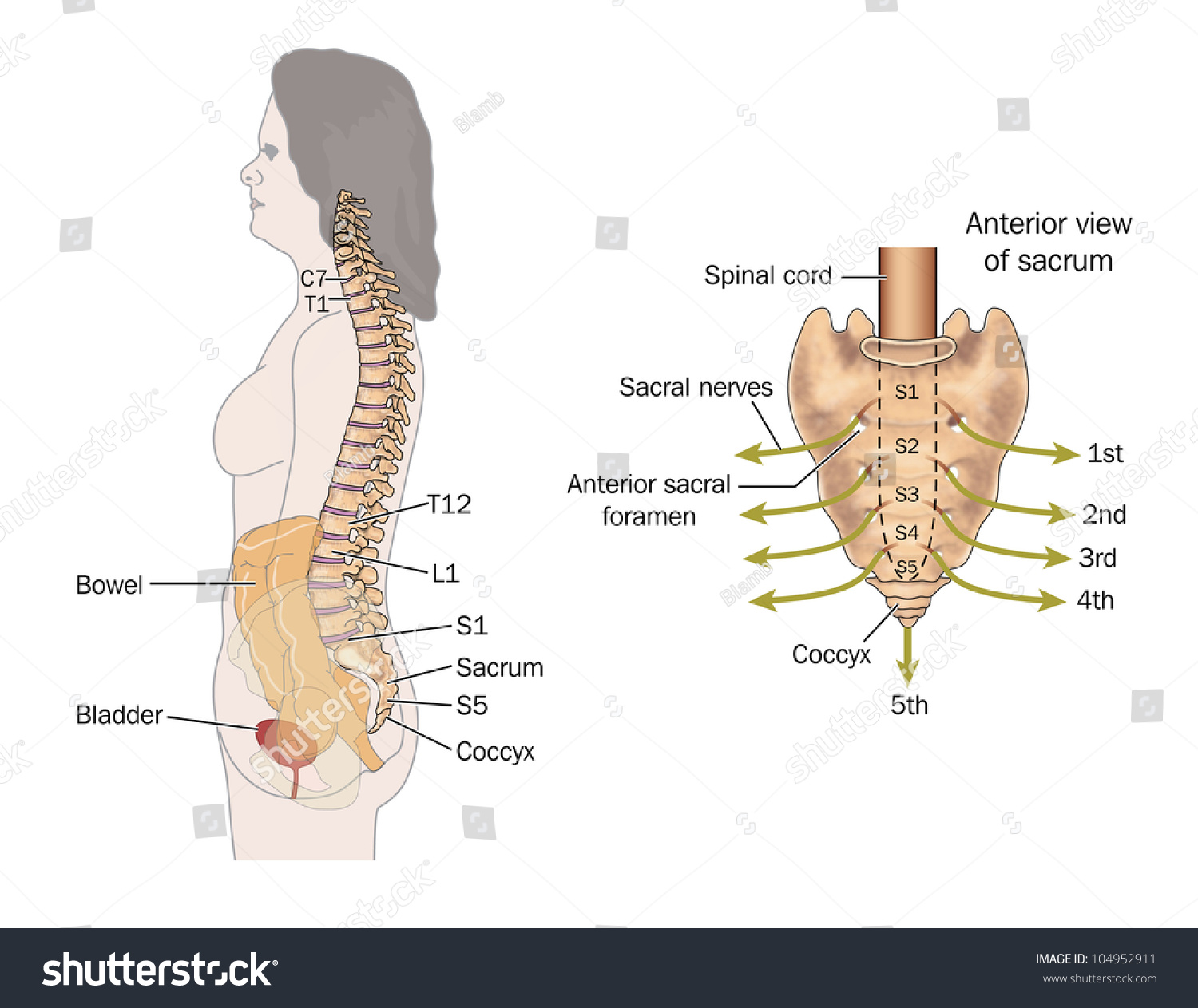 Side View Bowel Spinal Column Sacral Stock Illustration 104952911