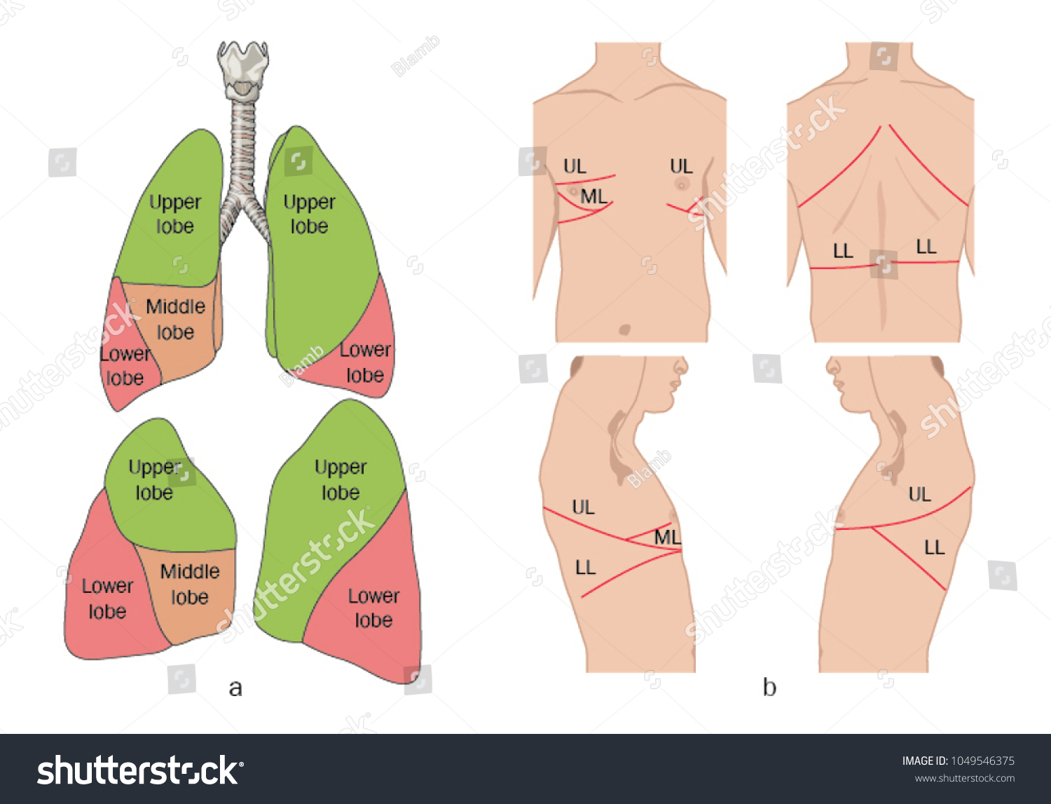 Location Lobes Lung Relation Trachea Surface Stock Vector 1049546375 ...
