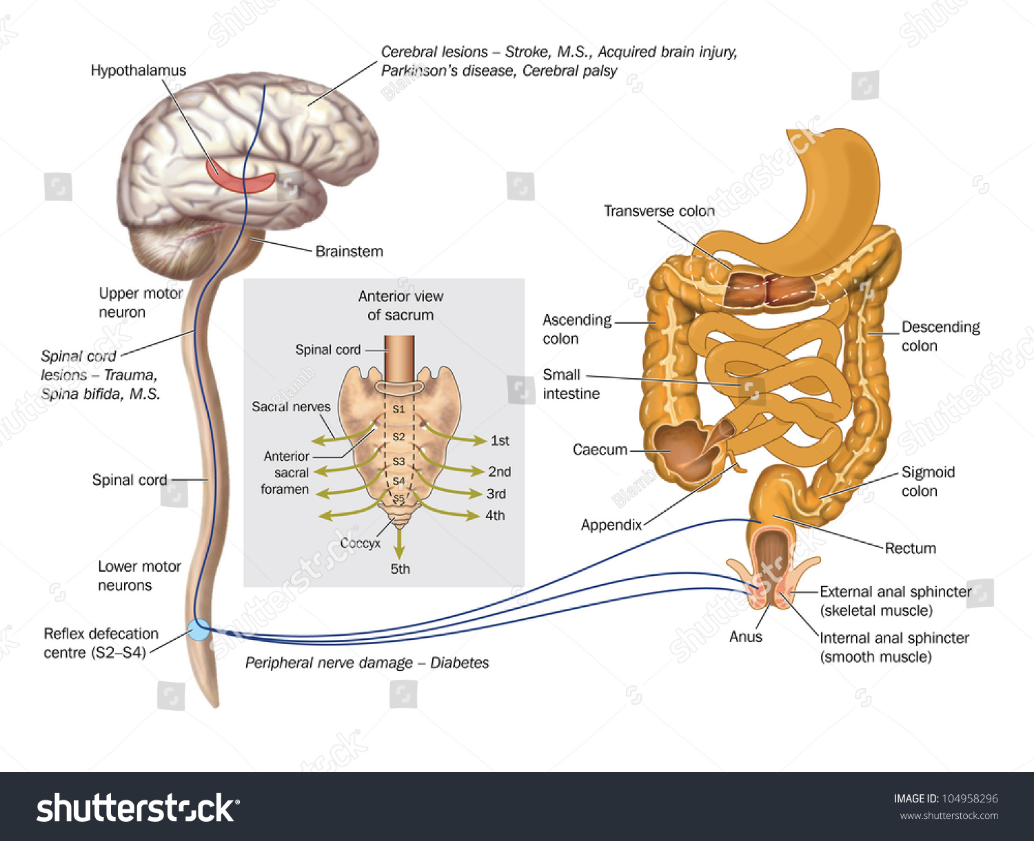 Drawing Show Nerve Pathways Controlling Rectum Stock Illustration