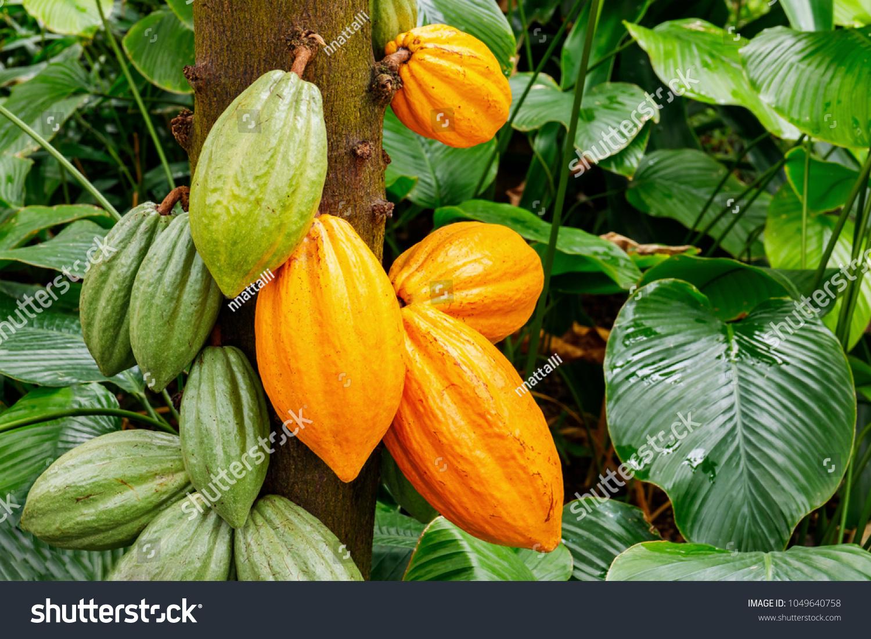 Green yellow cocoa pods grow on stock photo edit now 1049640758 green and yellow cocoa pods grow on the tree the cocoa tree theobroma cacao mightylinksfo