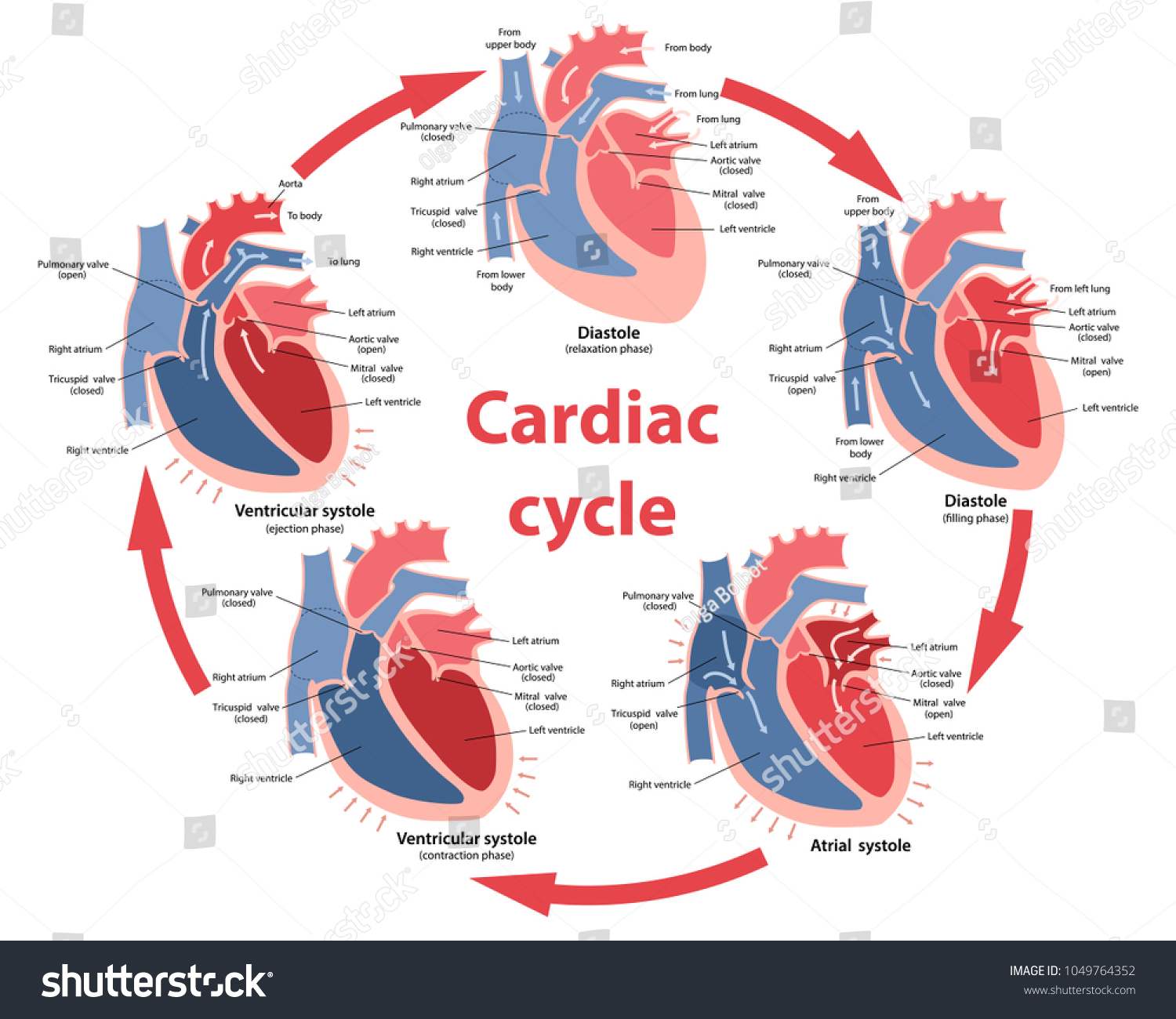 Diagram phases cardiac cycle main parts stock vector 1049764352 diagram of the phases of cardiac cycle with main parts labeled circulation of blood through pooptronica Choice Image
