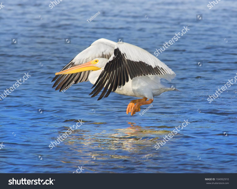 American White Pelican taking off. Latin name - Pelicanus erythrorhynchos.