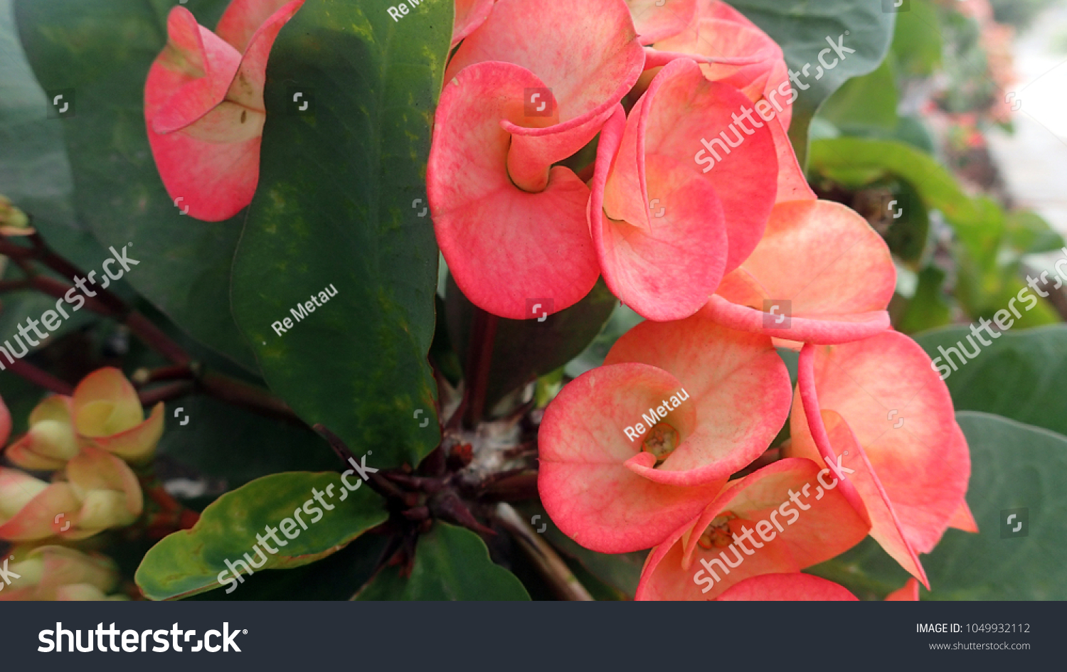 Close Coral Colored Christ Plant Euphorbia Stock Photo (Download Now ...