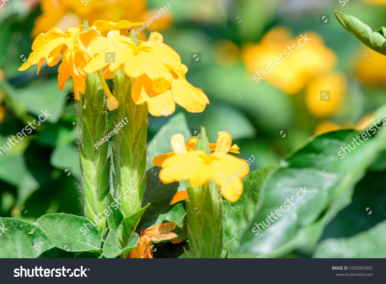 Crossandra Infundibuliformis Firecracker Flower Evergreen Plant