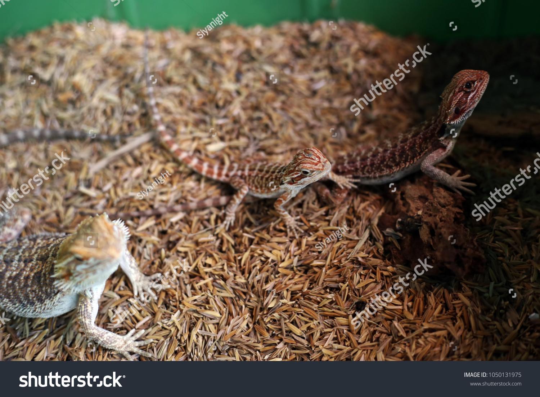 Central Bearded Dragon Lizard Pets Agama Stock Photo (Edit Now