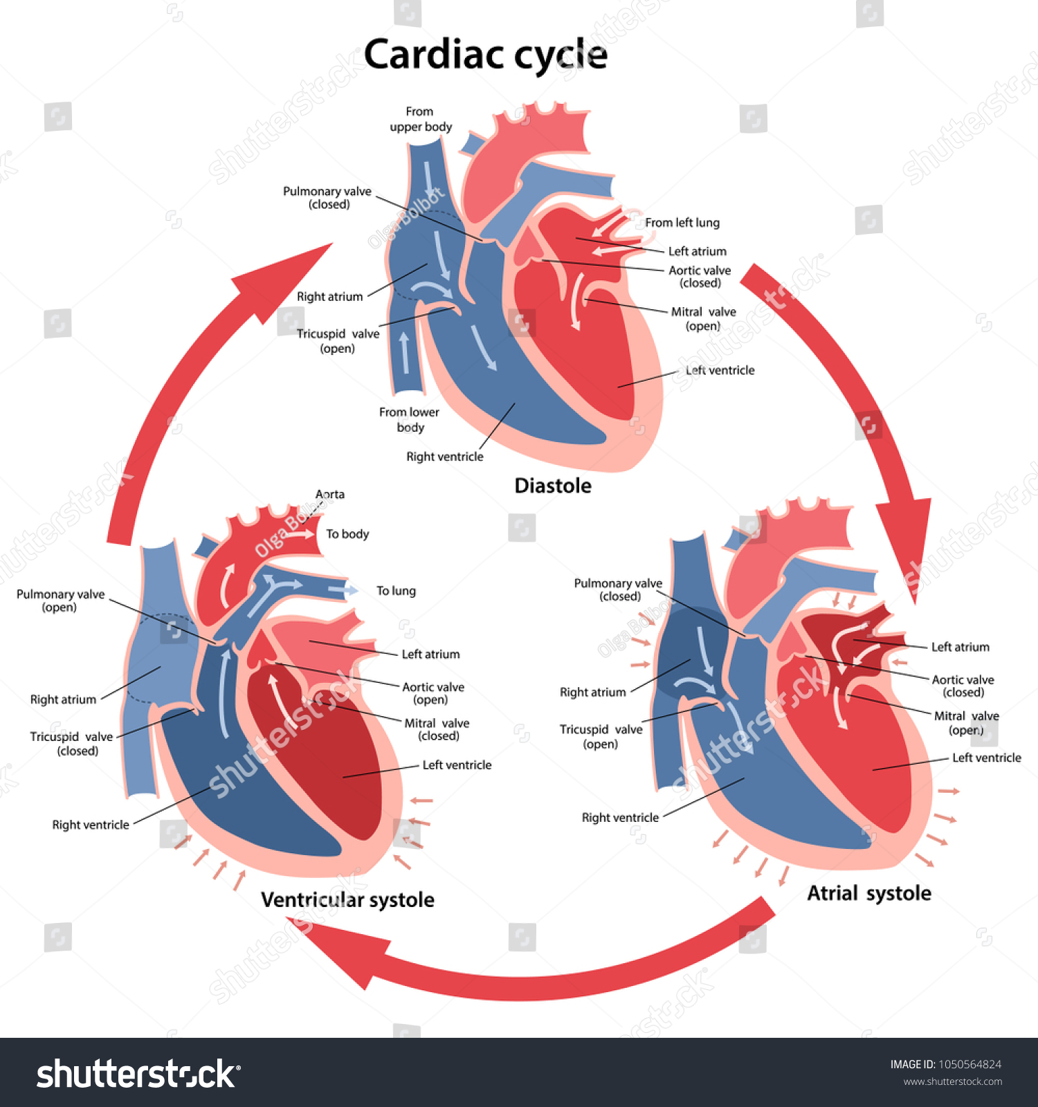 Diagram Phases Cardiac Cycle Main Parts Stock Vector Royalty Free Of The With Labeled Circulation Blood Through