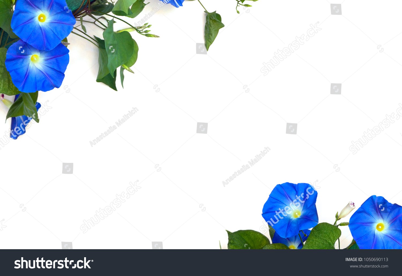 Blue flowers ipomoea common names bindweed stock photo edit now blue flowers ipomoea common names bindweed moonflower morning glories on a white background izmirmasajfo