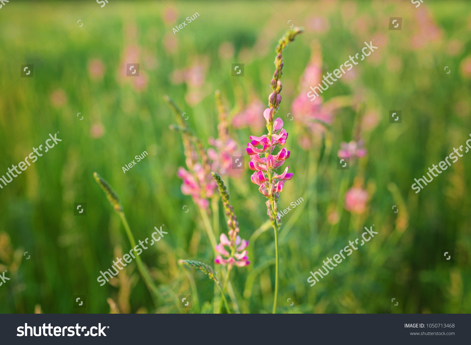 Wild Meadow Pink Flowers On Morning Stock Photo Edit Now
