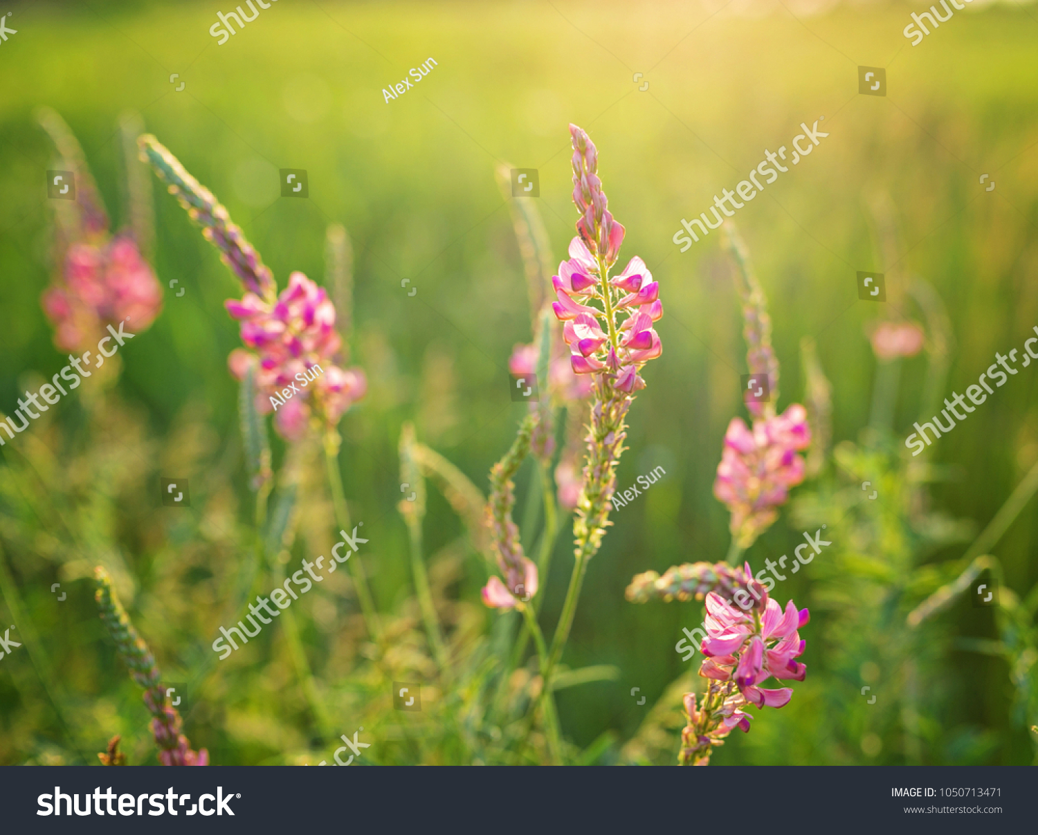 Wild Meadow Pink Flowers On Morning Stock Photo Royalty Free