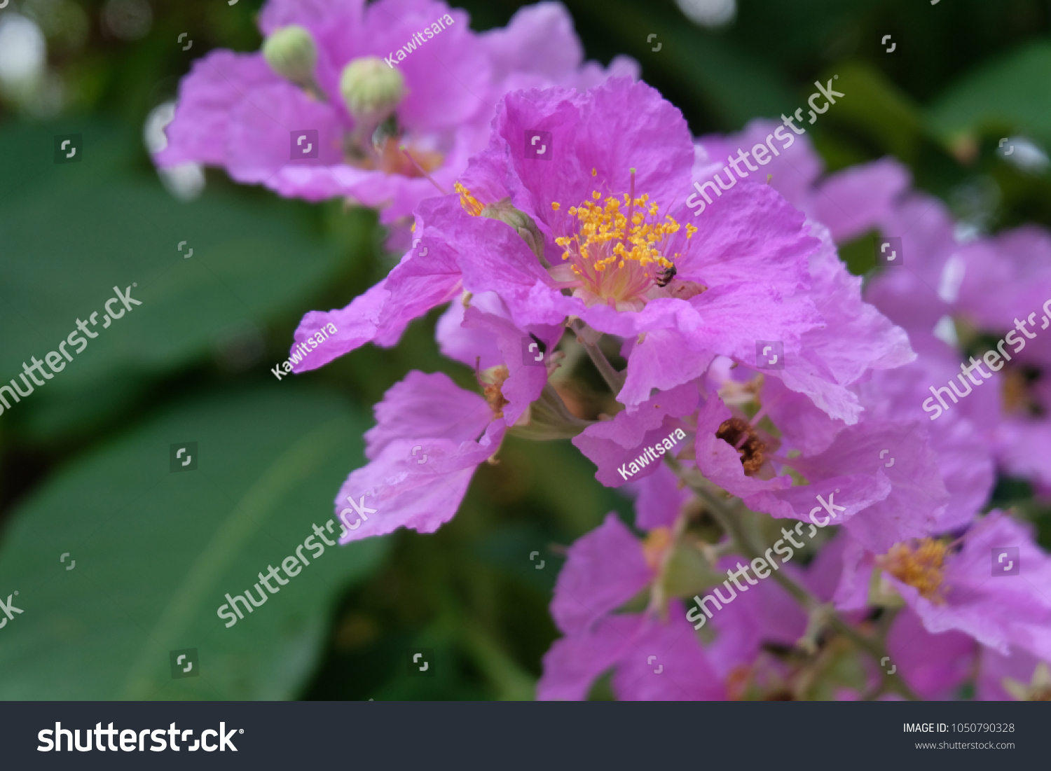 Purple Flowers Large Perennial Pink Flowers Stock Photo Edit Now
