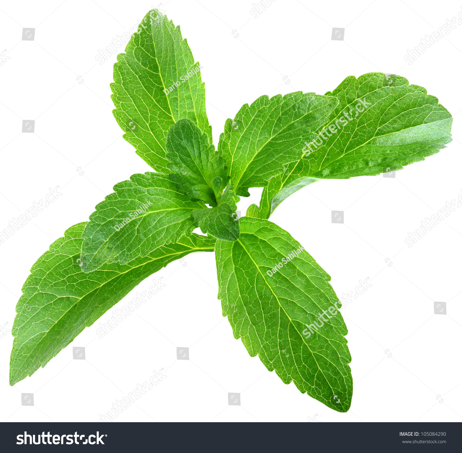 stevia rebaudiana leafs isolated on white stock photo. Black Bedroom Furniture Sets. Home Design Ideas