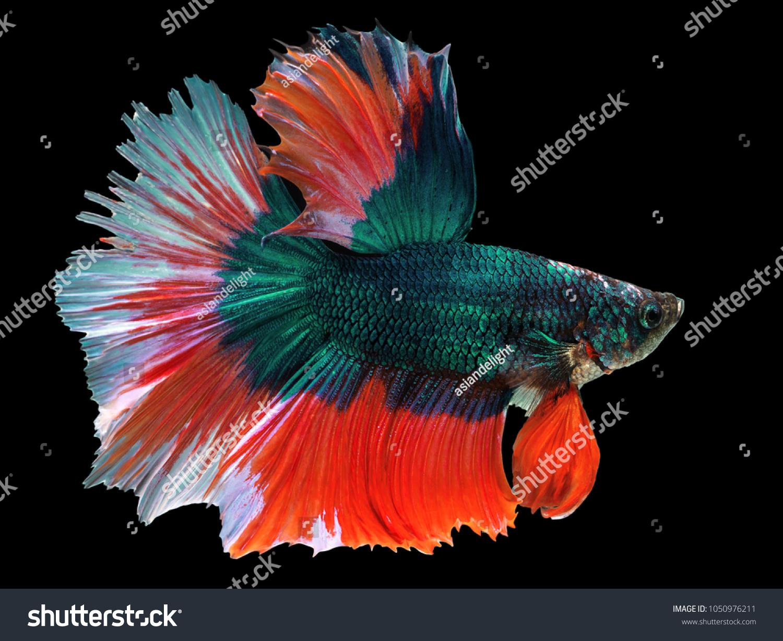 Beautiful Green Thai Fighting Fish Swimming Stock Photo (Download ...