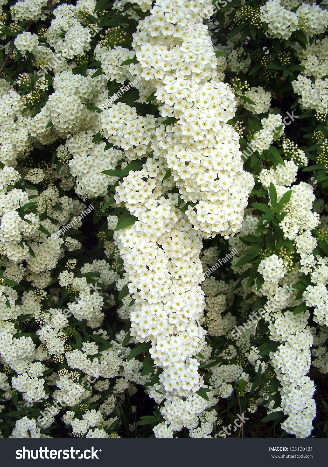 White Flowering Shrub Spirea Aguta Brides Stock Photo Image