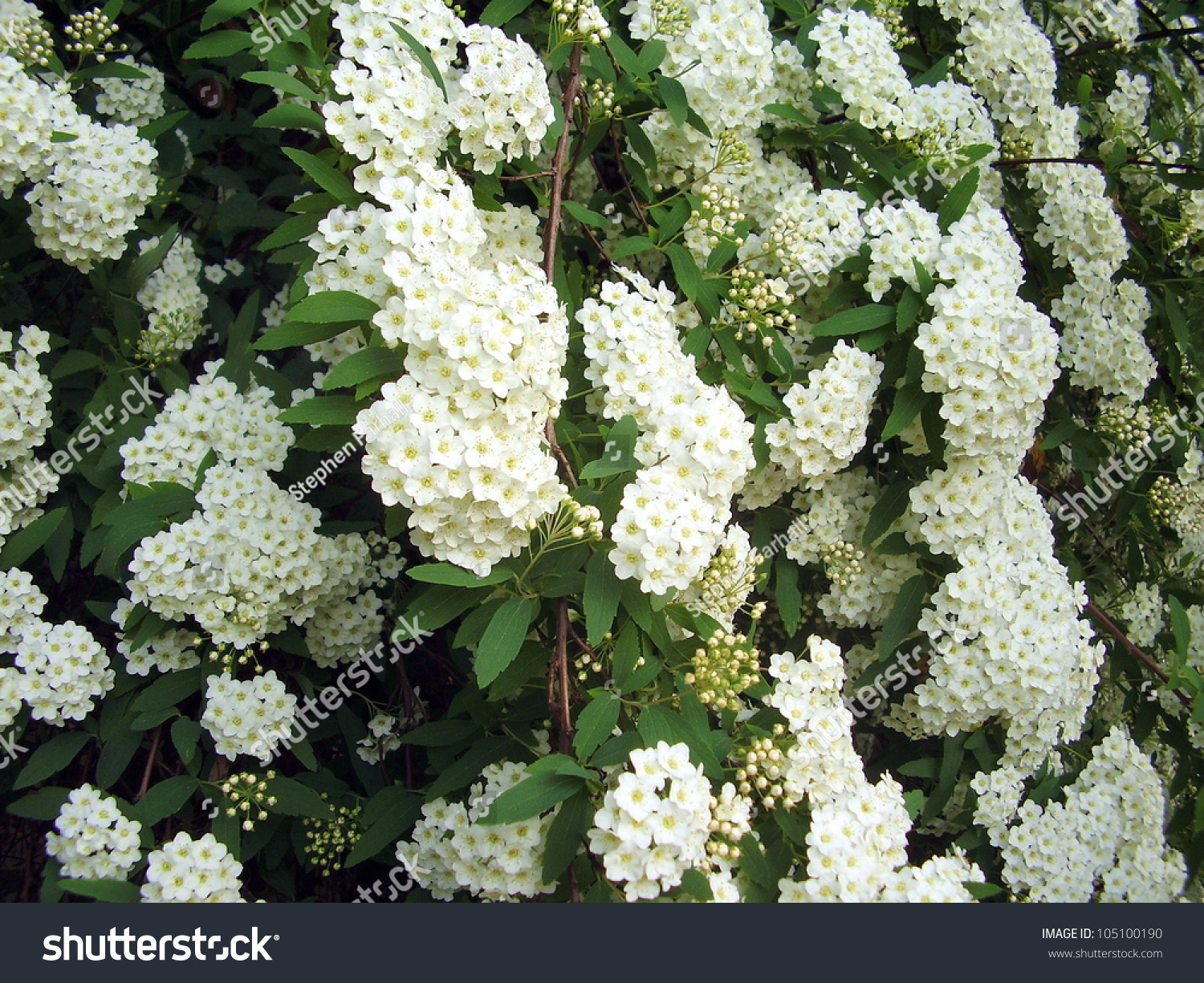White flowering shrub spirea aguta brides stock photo for White flowering bush