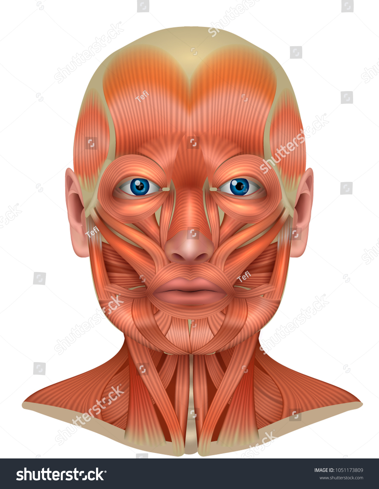 Royalty Free Stock Illustration Of Muscles Face Neck Detailed Bright