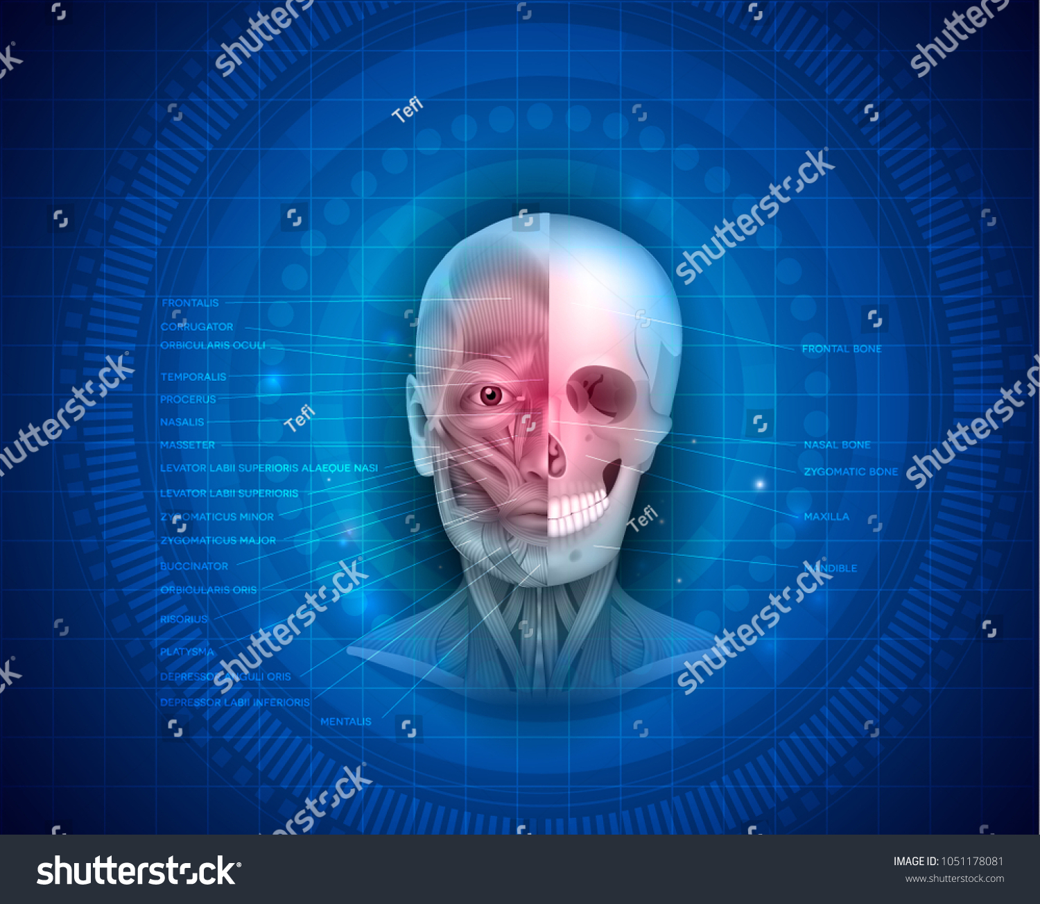 Muscles Bones Face Detailed Bright Anatomy Stock Vector Royalty