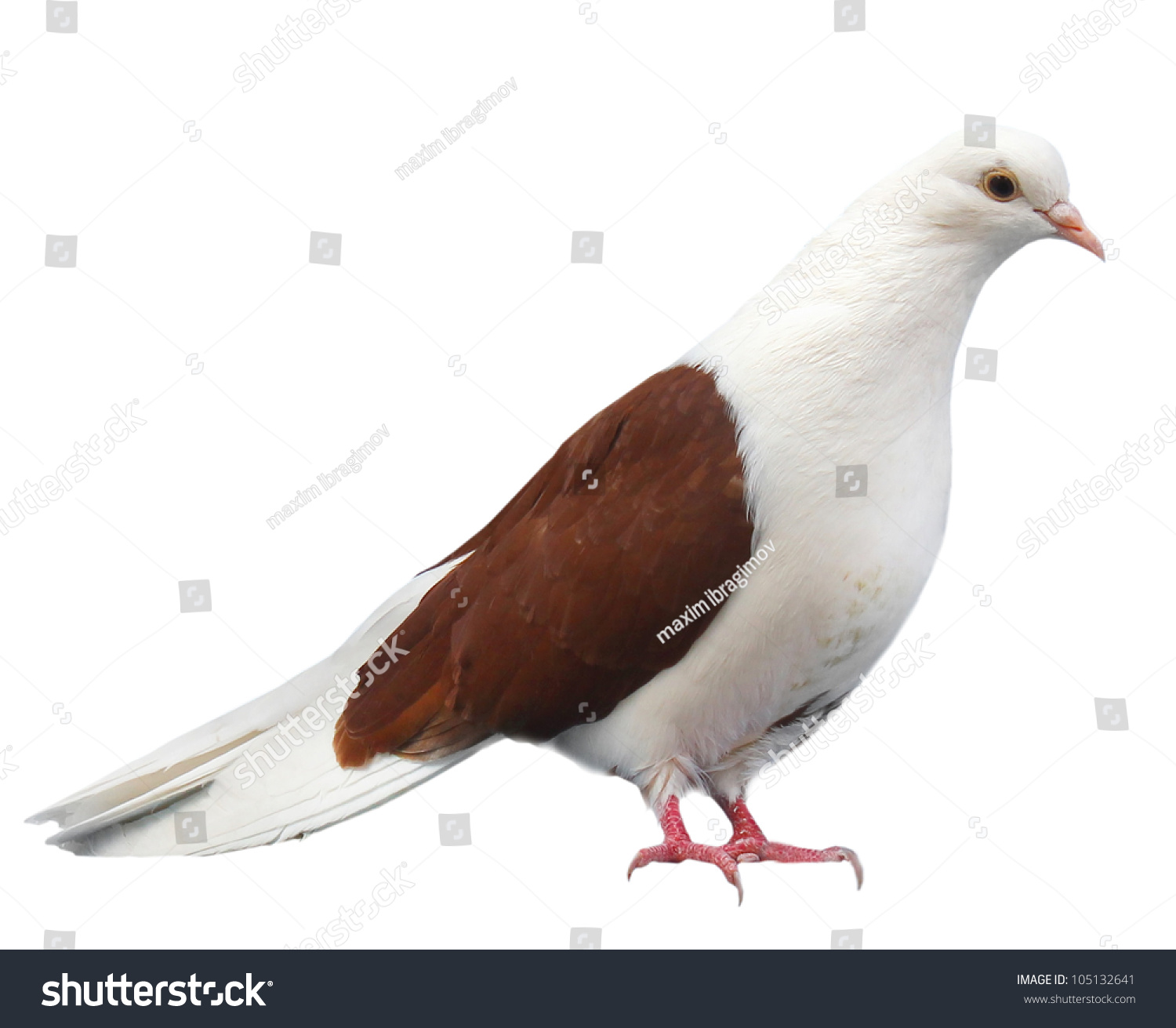 white pigeon single parent dating site White is a complicated subject for the simple reason that a white pigeon may be the  blue bar pigeon with the single  genetics site link to ron .