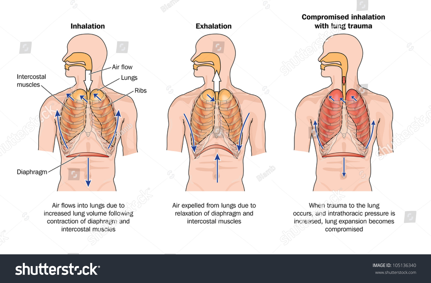 drawing show normal breathing inhalation exhalation stock rh shutterstock com inhalation and exhalation flow diagram diagram of breathing inhalation and exhalation