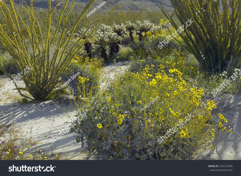 Ocotillo Blossoms Desert Gold Yellow Flowers Stock Photo Edit Now