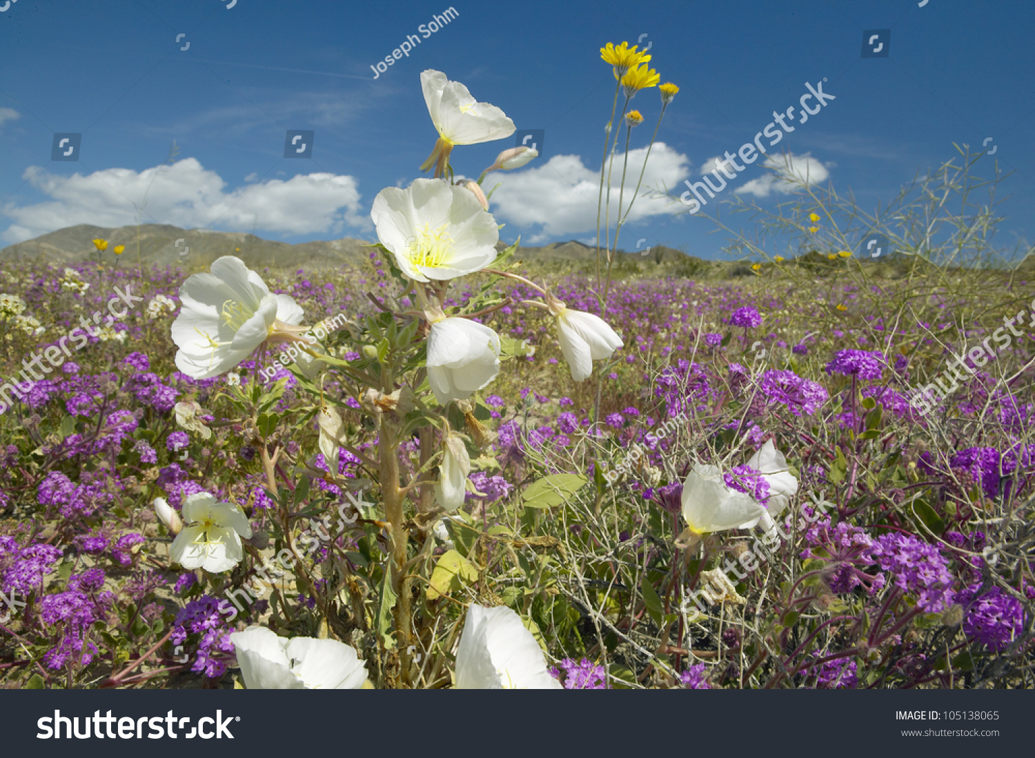 Desert Lilies White Flowers Blossoming White Stock Photo Edit Now