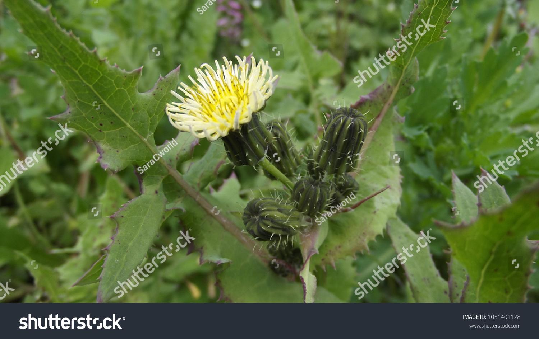 Sonchus Oleraceus Sow Thistle Spontaneus Yellow Stock Photo Edit