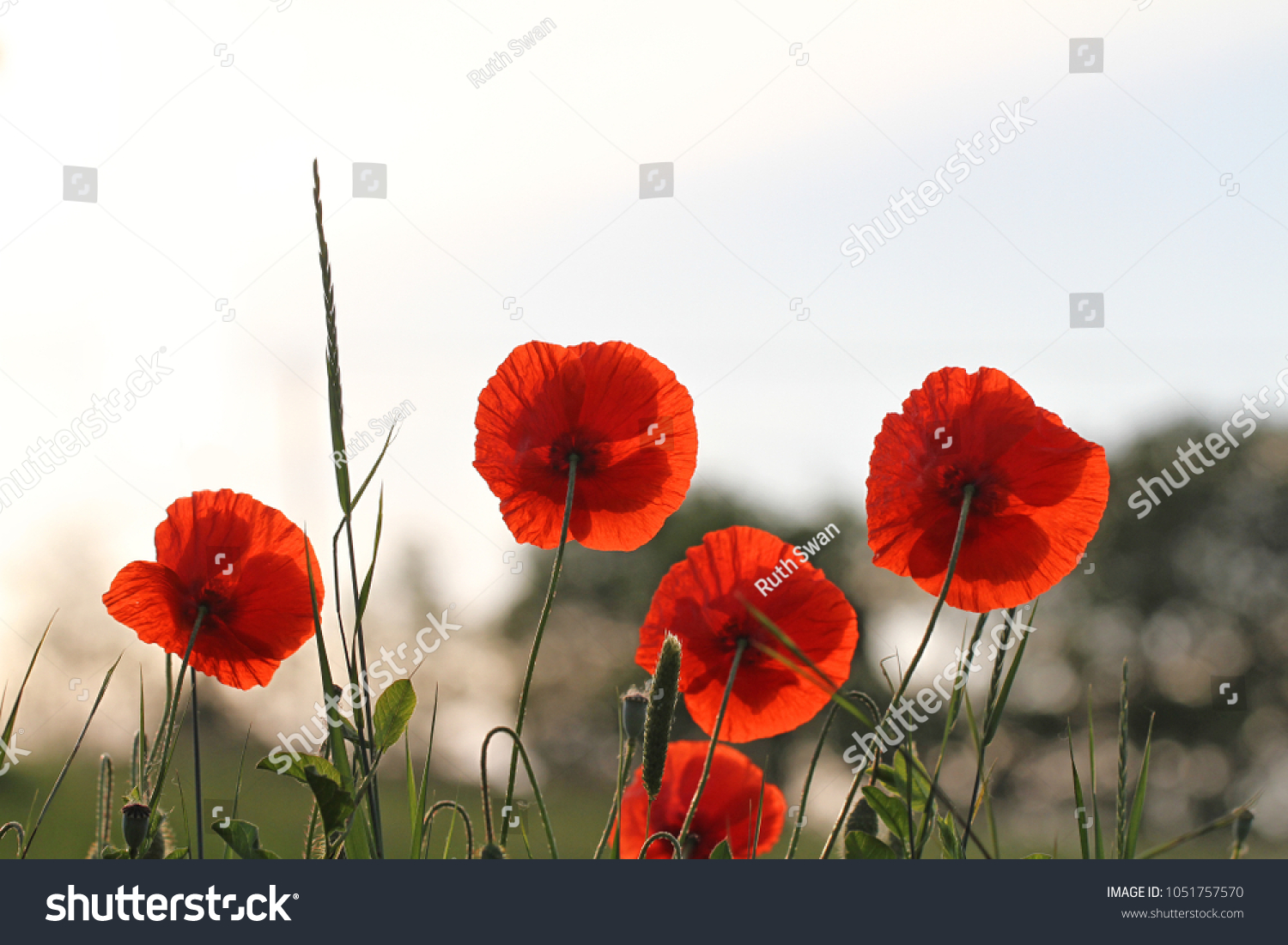 Poppy flowers papaver rhoeas poppies light stock photo 100 legal poppy flowers or papaver rhoeas poppies with the light behind in italy remembering 1918 the mightylinksfo
