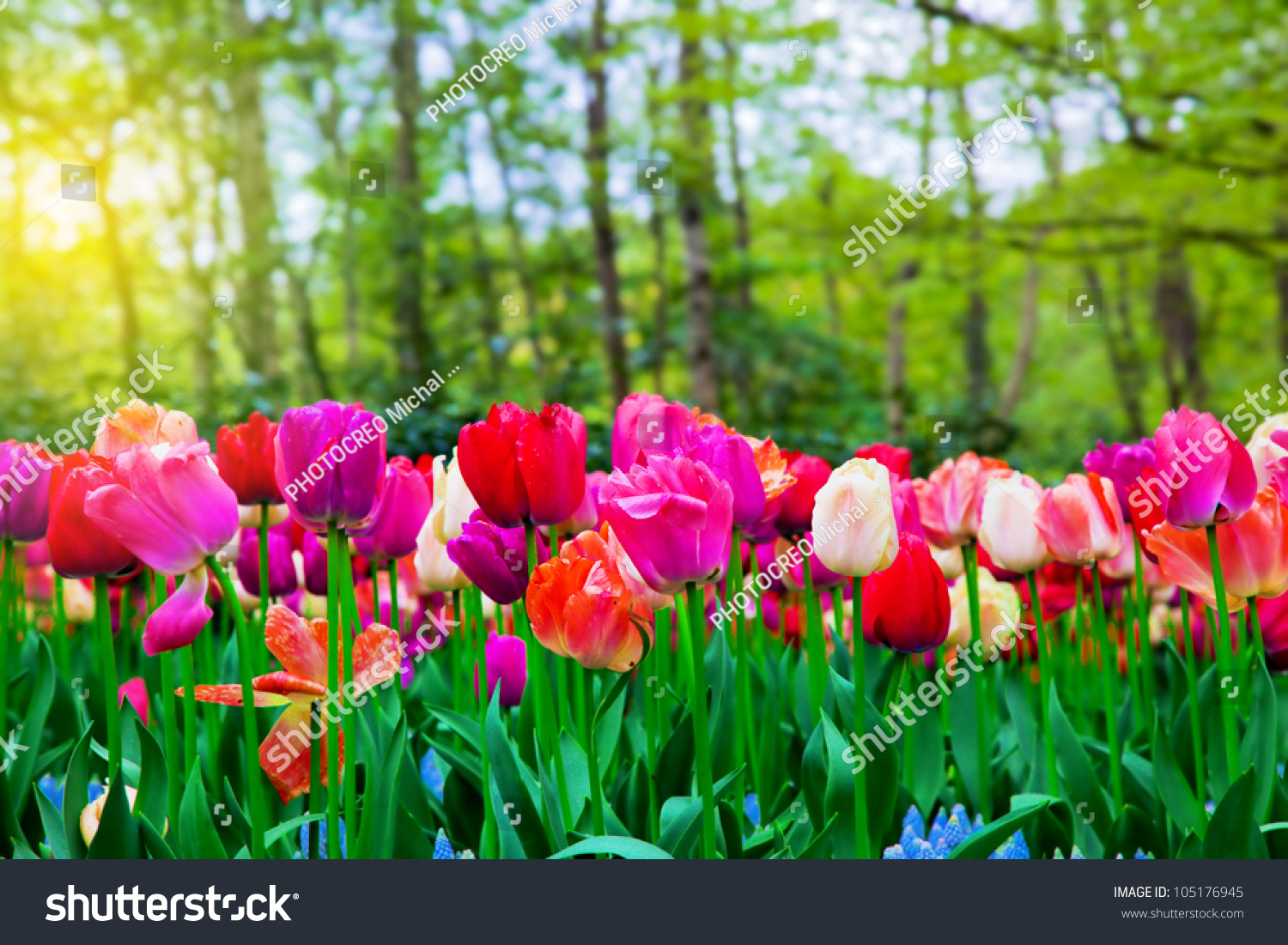 Colorful Tulip Flowers Sunny Green Spring Stock Photo 105176945