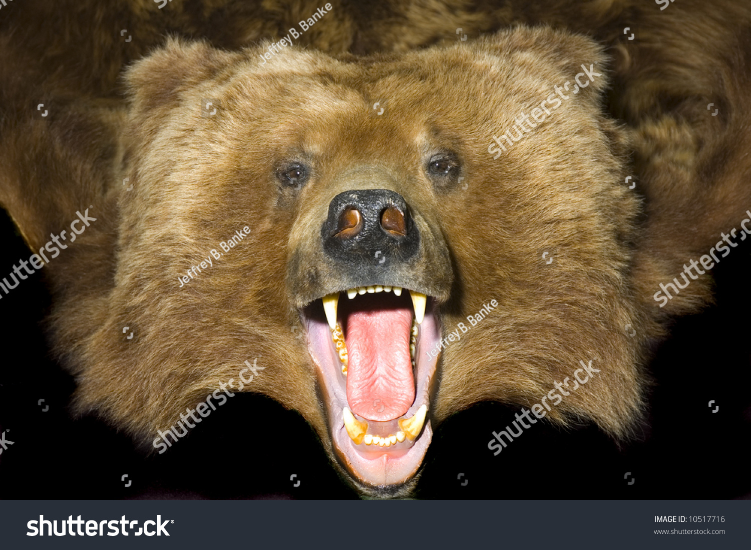 Grizzly Bear Rug With Close Up Of Head Showing Teeth