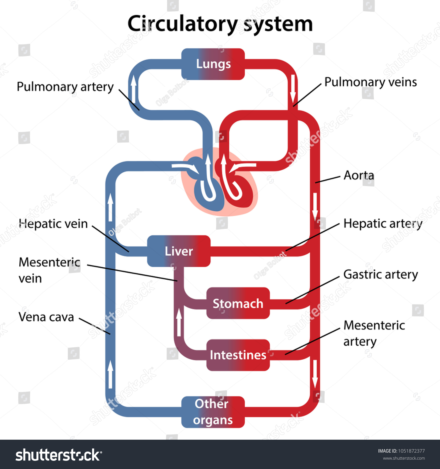 Circulatory System Labeled Diagram | World of Reference