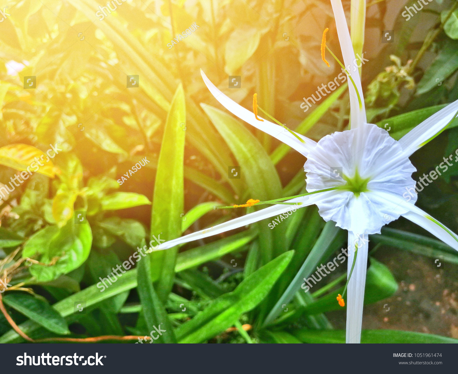 Close White Spider Lily Flower Six Stock Photo Edit Now 1051961474