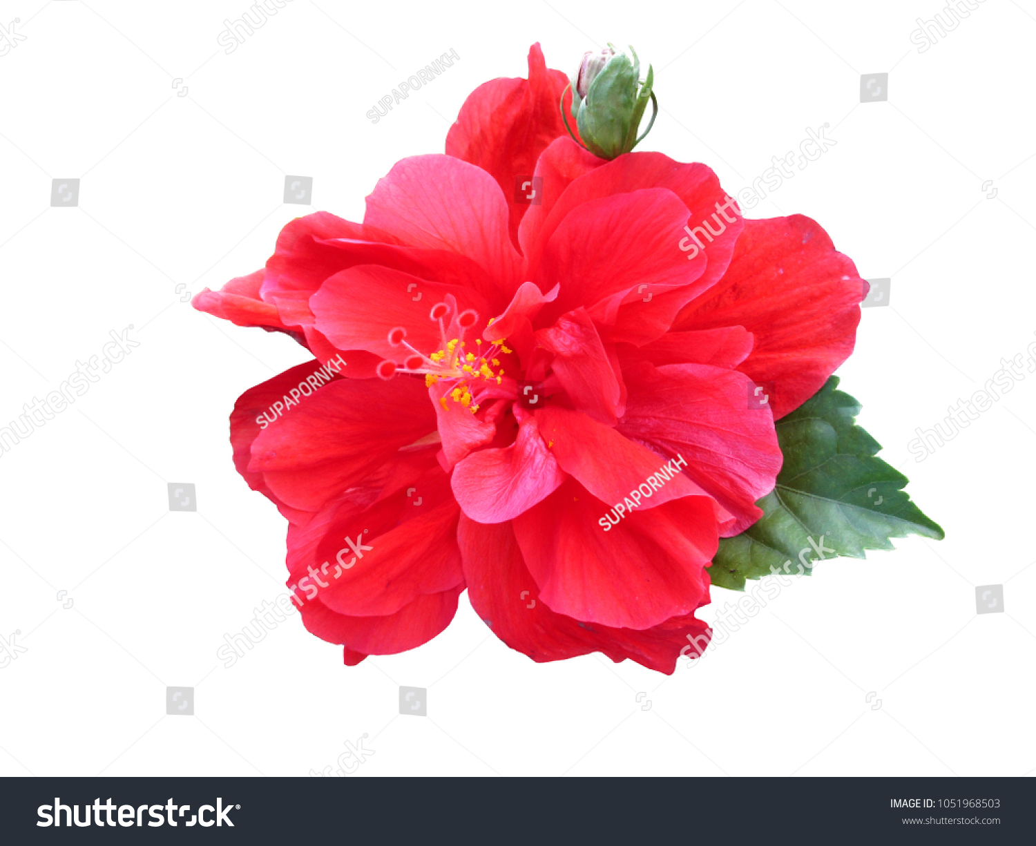 Red hibiscus flower chinese rose shoe stock photo edit now red hibiscus flower or chinese rose shoe flower hawaiian flower with leaves isolated on izmirmasajfo