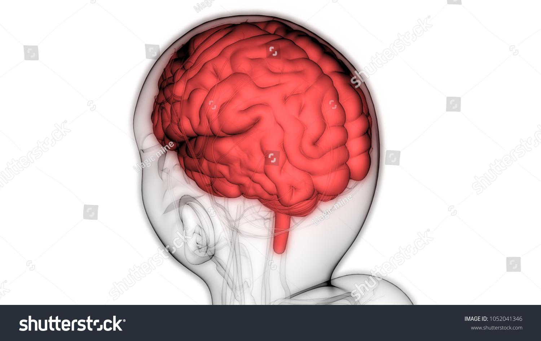 Human Brain Circulatory System Anatomy 3 D Stock Illustration
