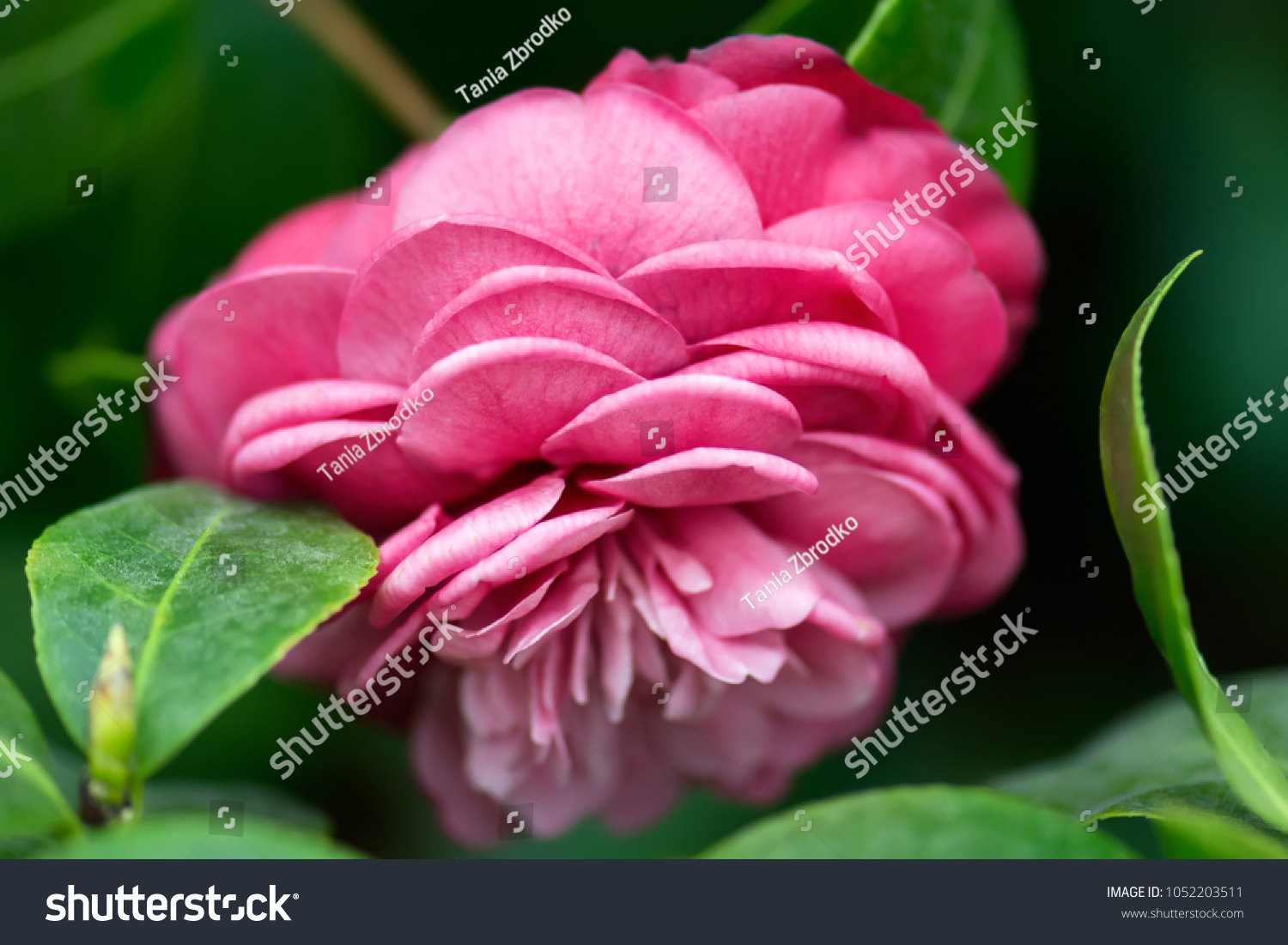 Blossom Pink Camellia Camellia Japonica Flower Stock Photo Edit Now