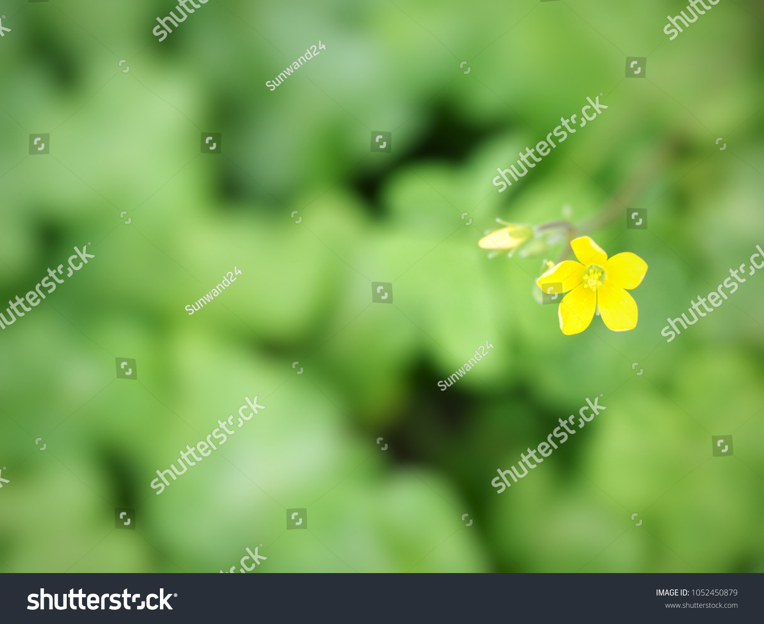 Lovely Yellow Clover Flower Oxalis Stricta Stock Photo Edit Now