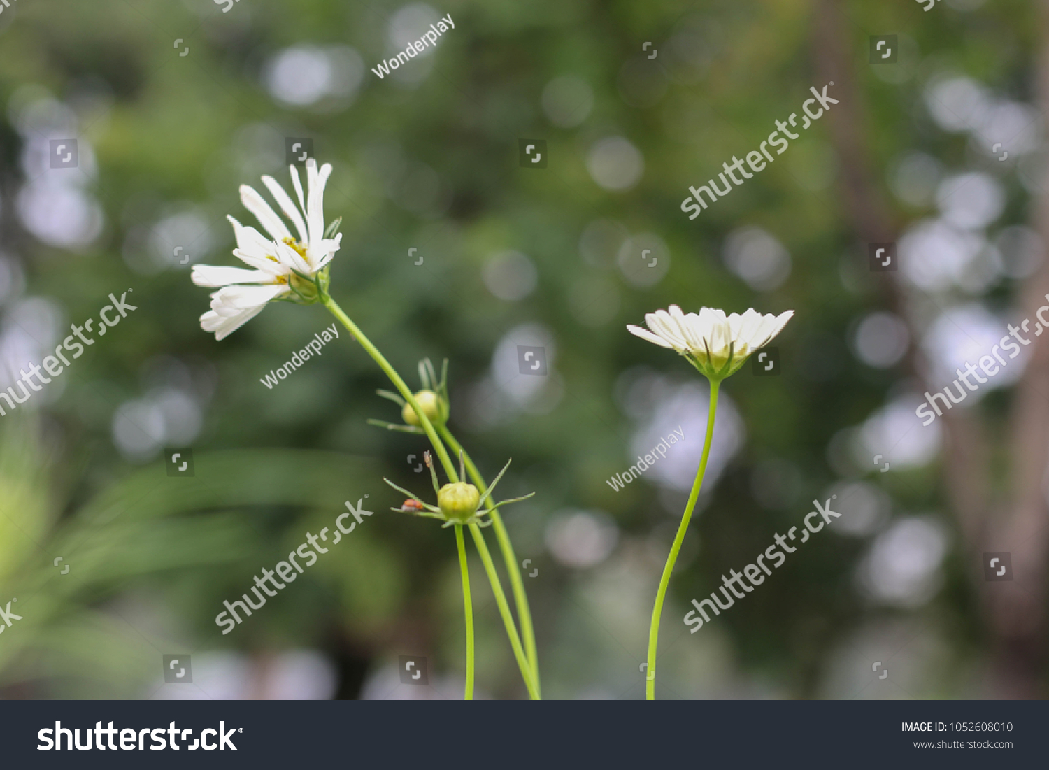 Field White Cosmo Flowers Day Blooming Stock Photo Royalty Free
